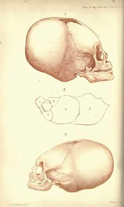 Litografías de cráneos alargados realizadas por J. Basire. (Dominio público)