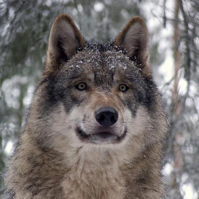 Lobo gris. (Gunner Ries/CC BY SA 3.0)