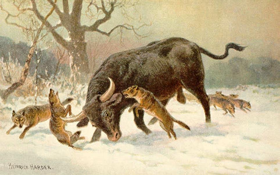 Pintura de Heinrich Harder en la que un uro se defiende de una manada de lobos euroasiáticos. (Public Domain)