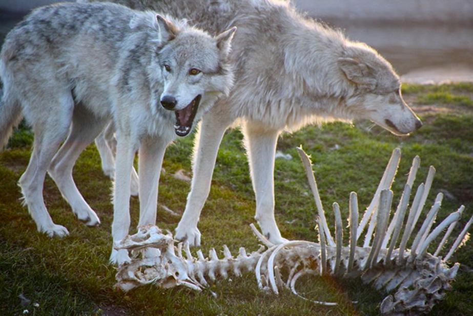 Lobos grises junto a la osamenta descarnada de una presa (CC BY 2.0)