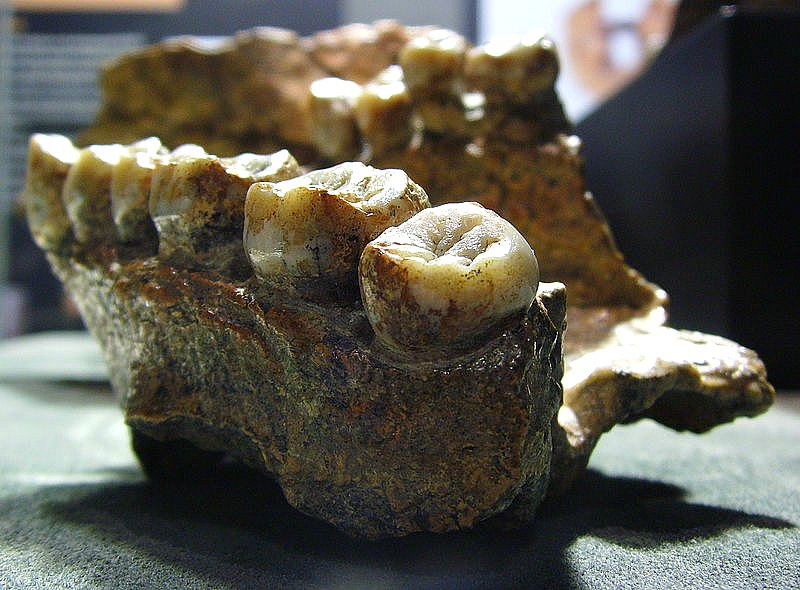Paladar y mandíbula de un Homo erectus datados en 1,6 millones de años. Museo Senckenberg de Historia Natural de Franfurkt, Alemania. (Gerbil/CC BY-SA 3.0)