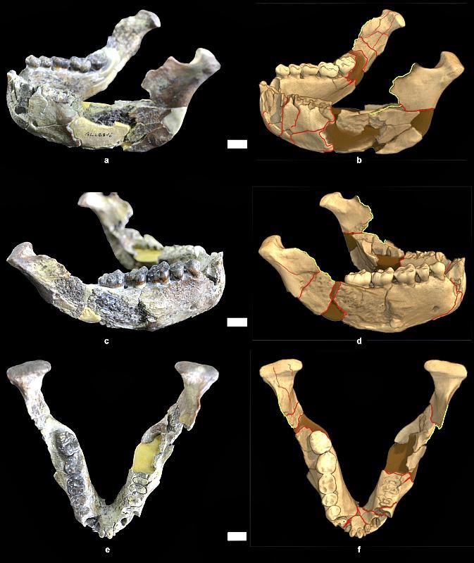Comparación de las fotografías de la mandíbula de Lucy con sus respectivas tomografías computarizadas (A.L. 288-1i, -1j and -1k). Ilustradas en rojo las fracturas principales en la parasínfisis y regiones subcondilares; en verde, las fracturas en los bordes de los procesos coronoides. (Fotografía: Nature)