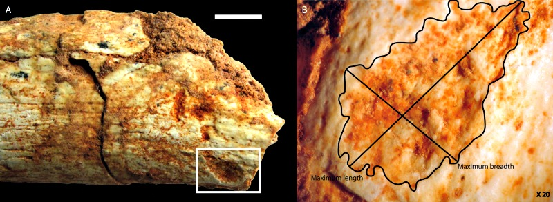 Marcas de mordeduras de un carnívoro en el extremo proximal de un fémur: A) Huellas dejadas por los dientes de un carnívoro (escala = 1 cm); B) Ampliación en la que se señalan la longitud y anchura máxima de la mordedura (X20). (Fotografías: Camille Daujeard/Plos One)
