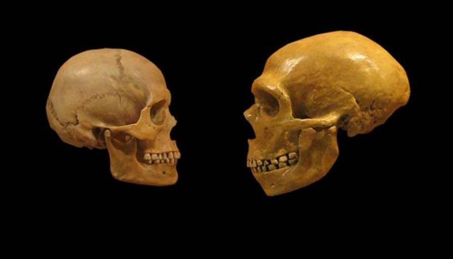 Comparación de los cráneos de un Humano Moderno y un Neandertal. (CC BY-SA 2.0)