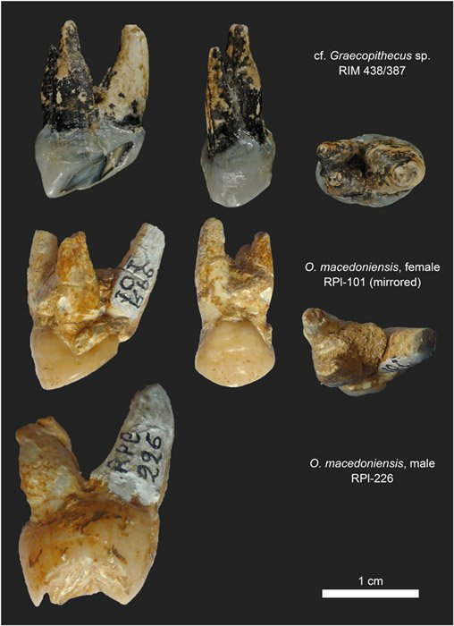 "Morfología de las raíces dentales del premolar P4 en ejemplares de Graecopithecus sp. y O. macedoniensis. (Potential hominin affinities of Graecopithecus from the Late Miocene of Europe – ""Potenciales afinidades con otros homininos del Graecopiteco del Mioceno tardío europeo"")"