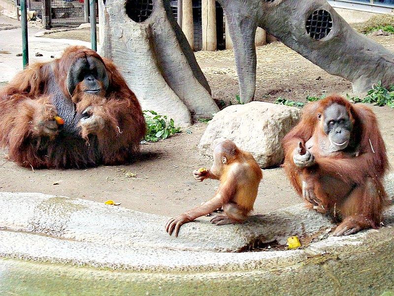 Los machos orangutanes no son monógamos, y compiten por aparearse con diferentes hembras. En la imagen, pareja de orangutanes de Sumatra (Pongo abelii) con su hijo. (Jeffery J. Nichols/CC BY-SA 3.0)