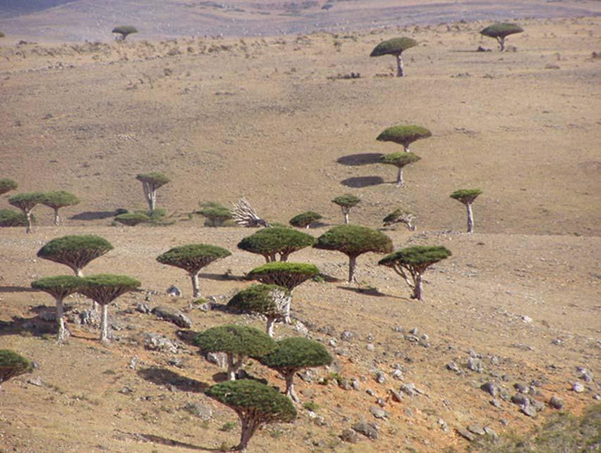 Dragos de Socotora (Dracaena cinnabari), meseta de Diksam (Dan / Flickr)