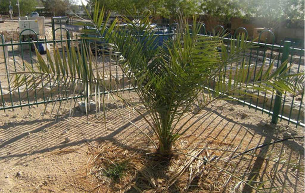 La Palmera Datilera de Judea, una especie extinguida hace siglos resucitada en el año 2005 gracias al descubrimiento de unas antiguas semillas. (Wikimedia Commons)