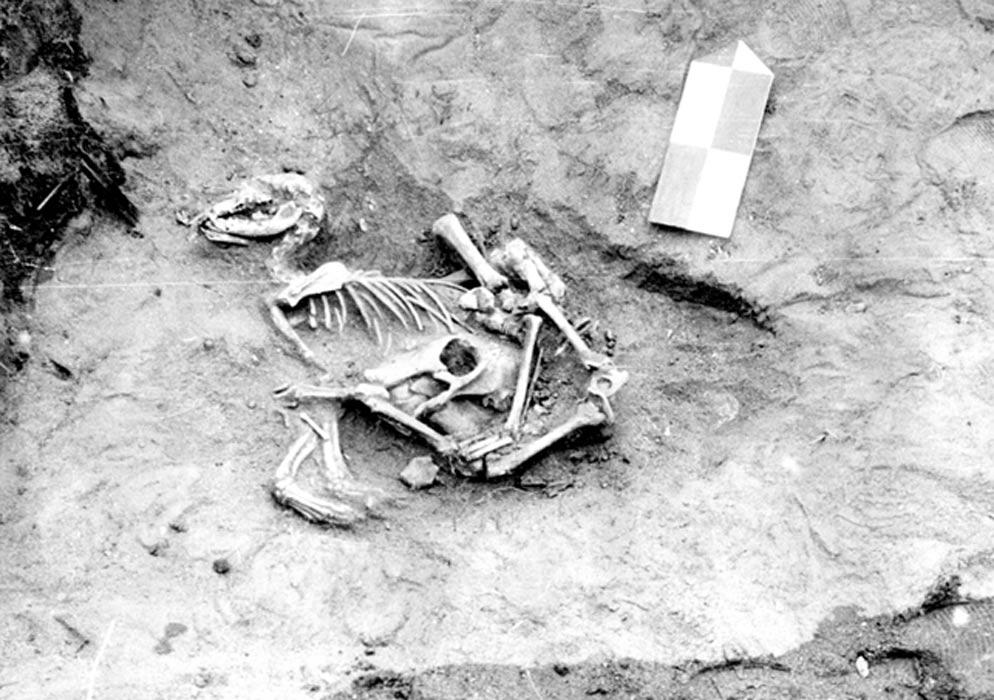 Justo por debajo del perro se encontraron el cráneo, las mandíbulas y los huesos inferiores de las patas de un becerro. Estos restos de un becerro podrían haber sido depositados junto con la piel que envolvía al perro, que presenta señales de haber sido sacrificado. Fotografía: Losey et al. (2013)