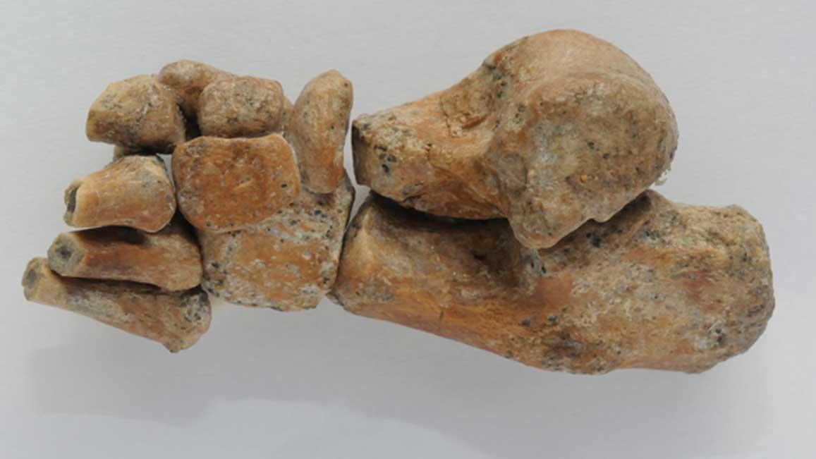 El pie del Australopithecus afarensis conocido como Niña de Dikika es aproximadamente del tamaño de un pulgar humano. Fuente: Zeray Alemseged