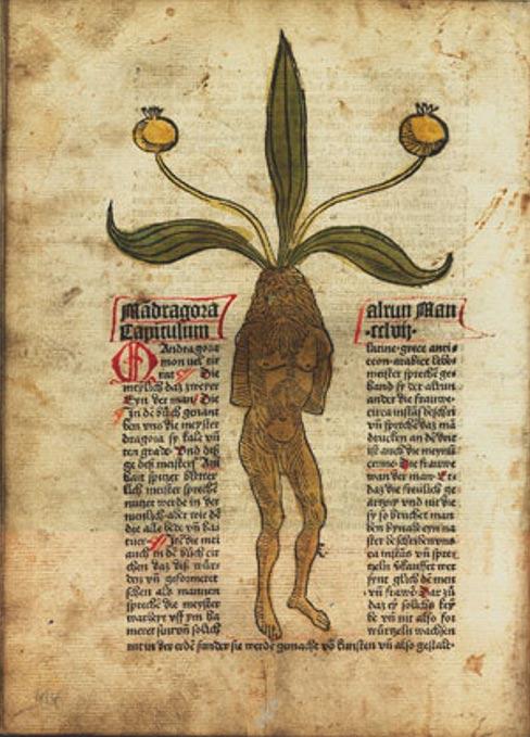 Planta y raíz de mandrágora, ilustración de un texto alemán del año 1485. (Public Domain)