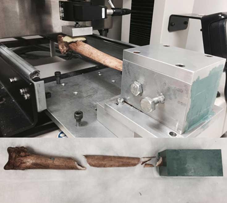 Realización de una de las pruebas de resistencia; la daga de hueso de casuario quedó fijada a un 20% de la longitud total desde la punta. (Dominy et al. 2018)