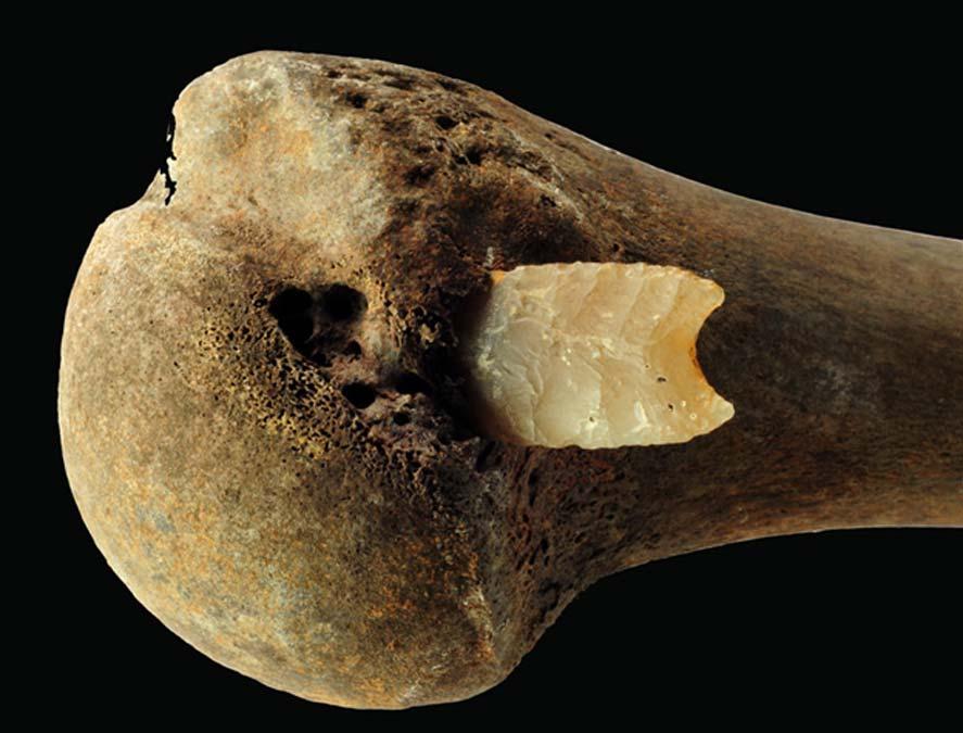 Punta de flecha de sílex incrustada en la articulación final de un húmero derecho hallado en el campo de batalla del valle del Tollense, Edad del Bronce. Fotografía: S. Suhr, LAKD M-V, Landesarchäologie