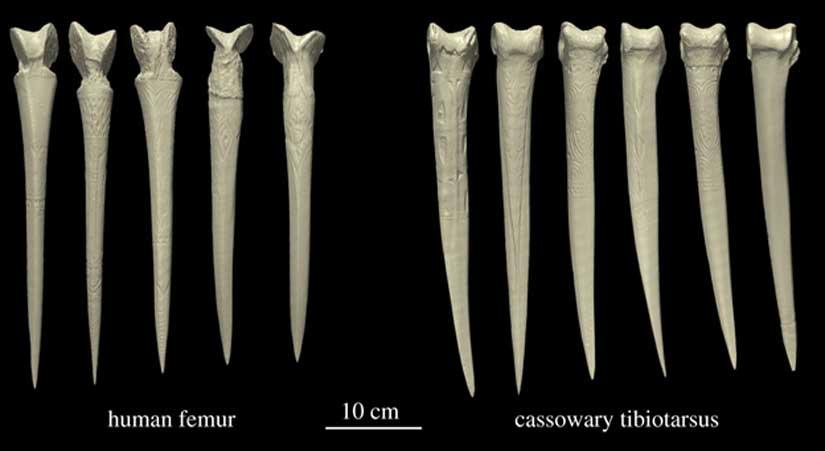 Reconstrucciones tridimensionales de las once dagas examinadas en el estudio. (Dominy et al. 2018)