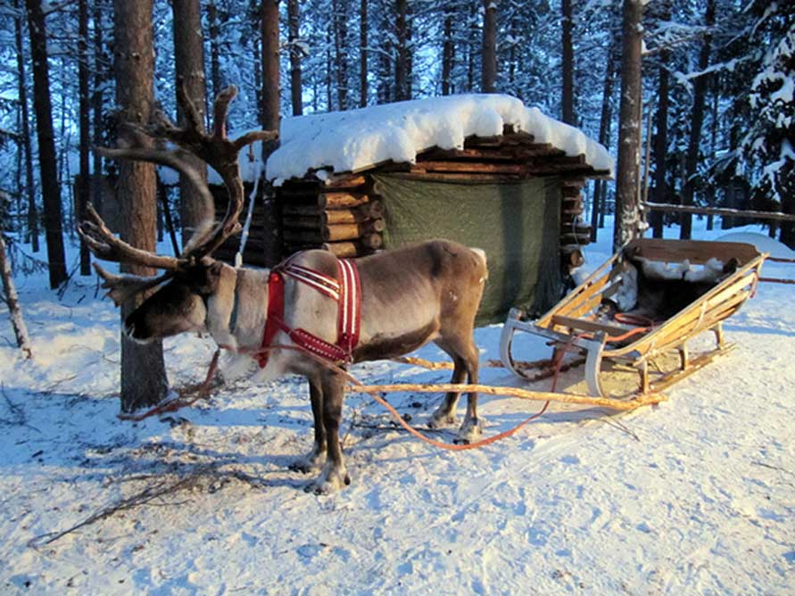 Reno con trineo en Kuusamo, Laponia. (Heather Sunderland/CC BY 2.0)