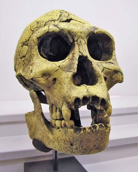 Reproducción de un cráneo de Homo Georgicus descubierto en Dmanisi, Georgia. (Dominio público)