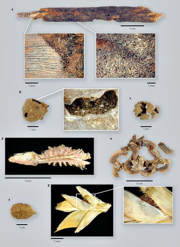 Restos arqueobotánicos excepcionalmente bien conservados descubiertos en el abrigo rocoso de Takarkori. (Tadrart Acacus, sudoeste de Libia), datados entre los años 7500 a. C. y 4200 a. C. (Fotografía: Nature)