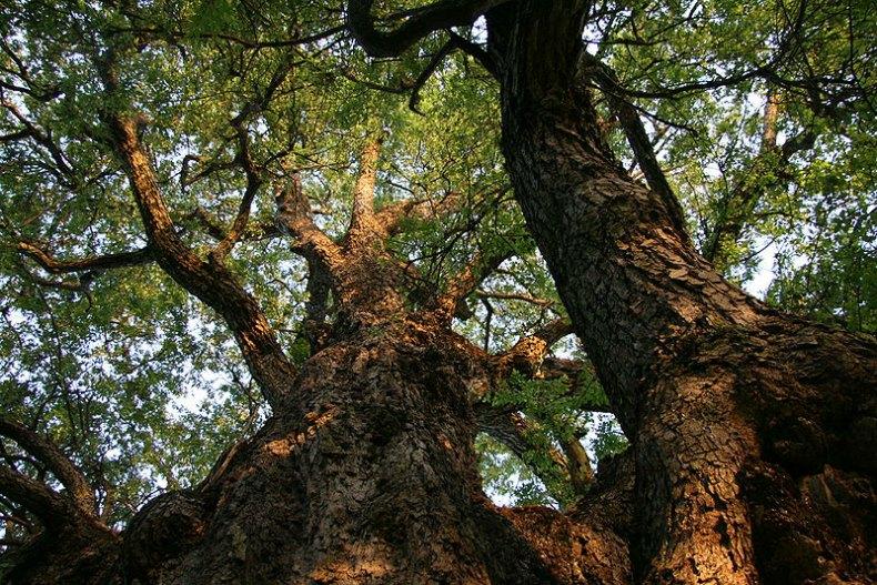 Según un ancestral mito celta, los dioses crearon con madera de roble tanto al primer hombre como a la primera mujer, así como a otros animales. (Diucón – CC BY 3.0)