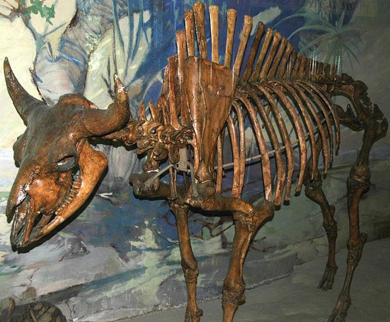 Esqueleto de un antiguo bisonte similar a los que había en Norteamérica durante la Edad del Hielo (foto: James St. John/Wikimedia Commons)