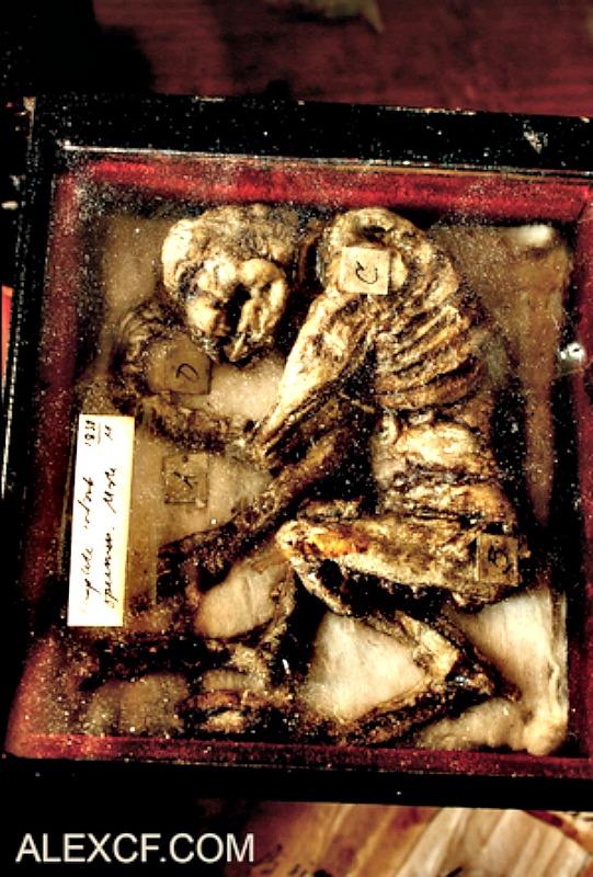 Los restos de un supuesto súcubo expuesto en las vitrinas de tan inusual museo. (Fotografía: Merrylin Cryptid Museum)