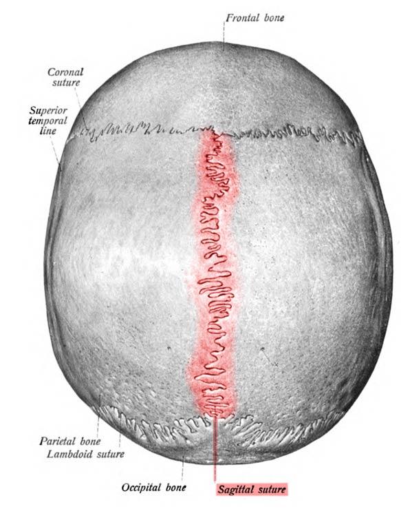 La sutura sagital, en rojo, separa las dos placas parietales (Public Domain)