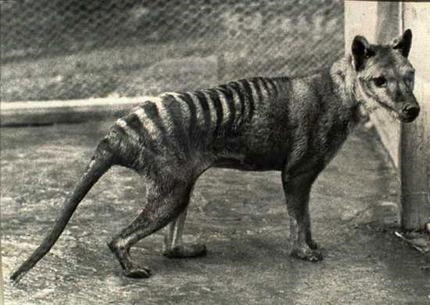 Si los científicos decidieran traer de vuelta a alguna especie recientemente extinguida podrían elegir por ejemplo al Tigre de Tasmania (Dominio público)