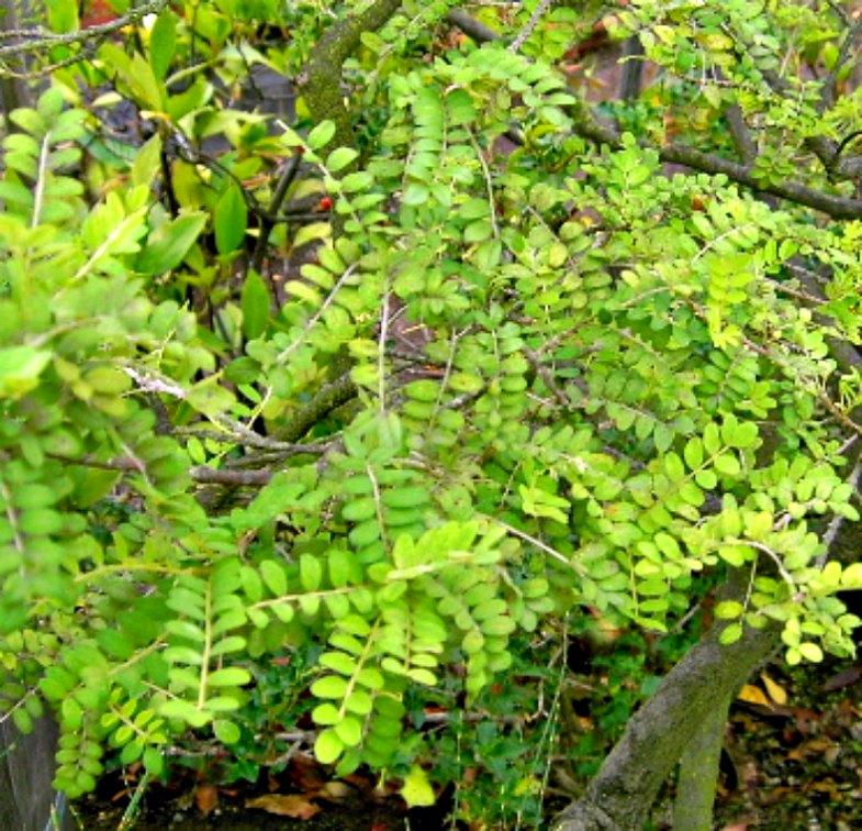 El toromiro, único árbol endémico de la Isla de Pascua que ha logrado sobrevivir hasta nuestros días. (Public Domain)