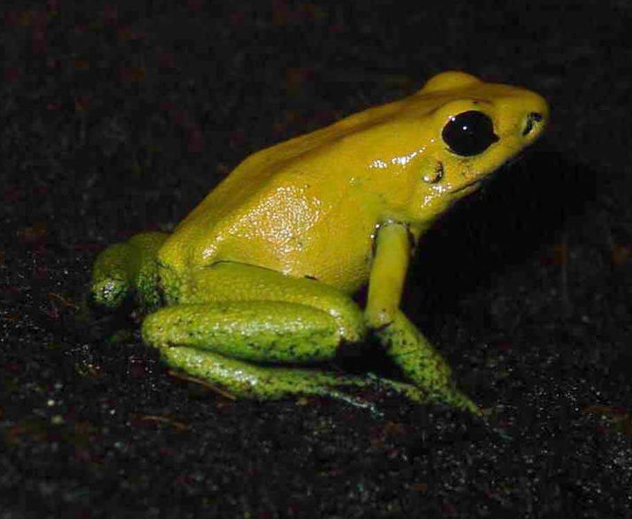 La rana dardo de patas negras, tal y como indica su propio nombre, es una de las especies que segrega sustancias que son utilizadas en la preparación de venenos para dardos. Luis Miguel Bugallo Sánchez, (CC By-SA 3.0)