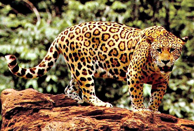 Ejemplar de yaguareté, yaguar o jaguar. (Panthera onca). (Public Domain)