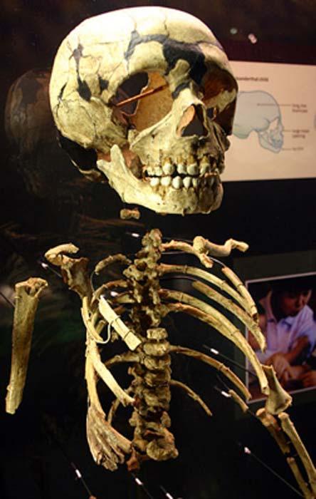 Esqueleto parcial de un niño neandertal. (Ryan Somma / CC BY SA 2.0)