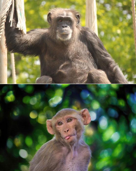 Un chimpancé (CC0) y un macaco rhesus. (Pixabay License)
