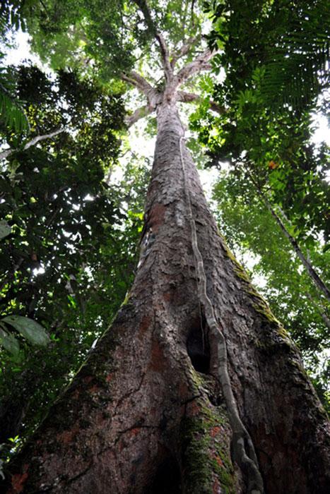 Un árbol de Dinizia excelsa. (CINBESA)