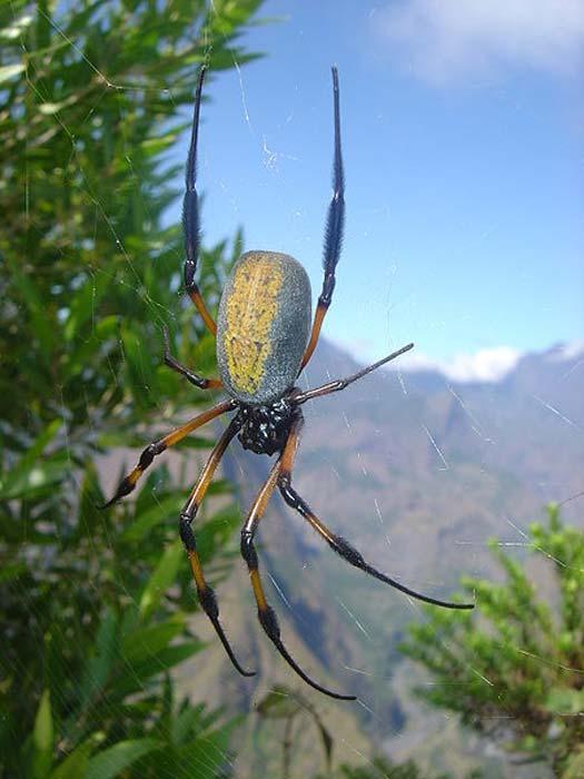 Una araña de tela orbe dorada de patas rojas (Nephila inaurata). Tomada cerca de Dos d'Âne, Isla Reunión, en la cresta de la Roche vert bouteille. (David Monniaux / CC BY SA 3.0)