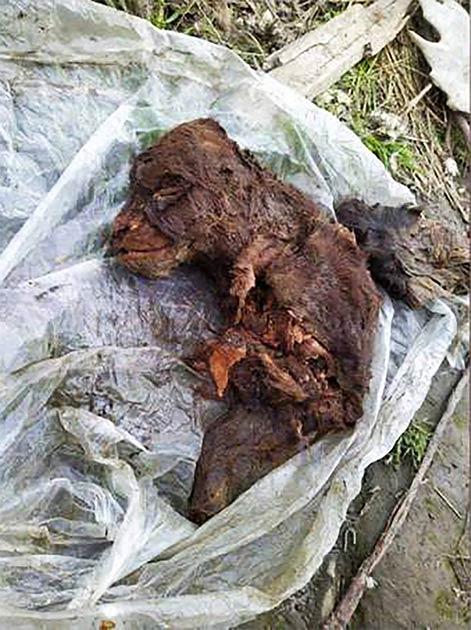 Este cachorro de oso de la Edad de Hielo también se encontró recientemente en el continente de Yakutia, no lejos del hallazgo del oso adulto. (Universidad Federal del Nordeste de Yakutsk (NEFU)