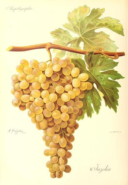 Imagen de las uvas Ansonica / Inzolia para mostrar la representación de las uvas utilizadas en el antiguo proceso de vinificación griego. (Alexis Kreyder / Dominio público)