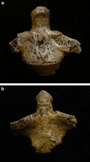 Vértebras asociadas C2. a, daño peri-mortem yb, aspecto anterior con marcas de corte. (Jo Buckberry)