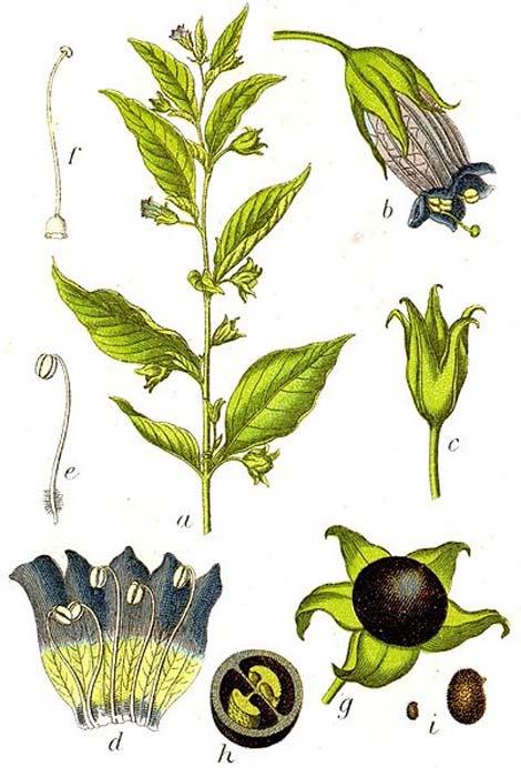 Atropa bella-donna L. (dominio público)