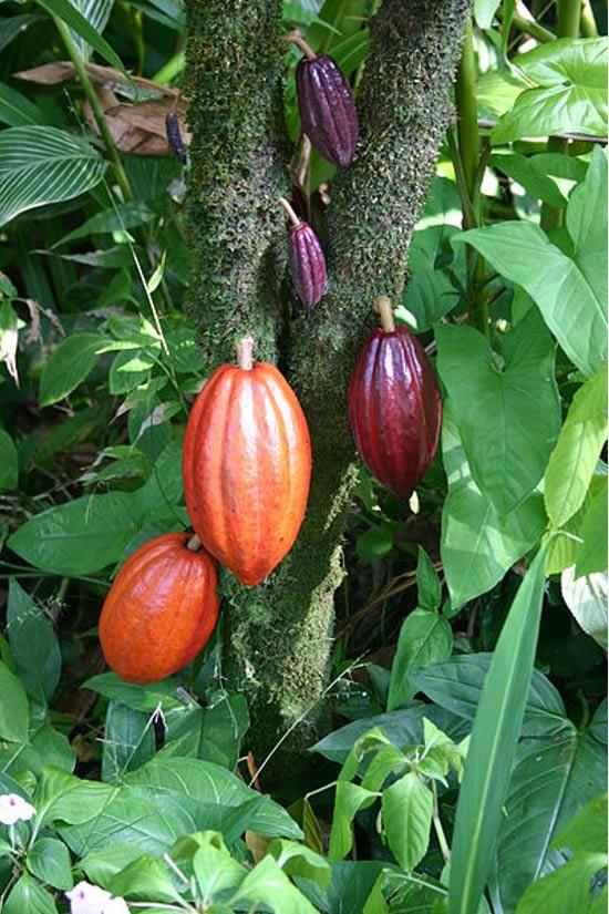 Un árbol de cacao con vainas de frutas en varias etapas de maduración. Dominio publico