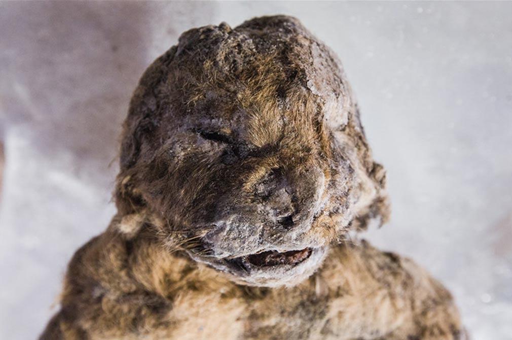 El permafrost conservó a los dos cachorros de león de las cavernas con una viveza y un detalle extraordinarios durante más de 10.000 años.