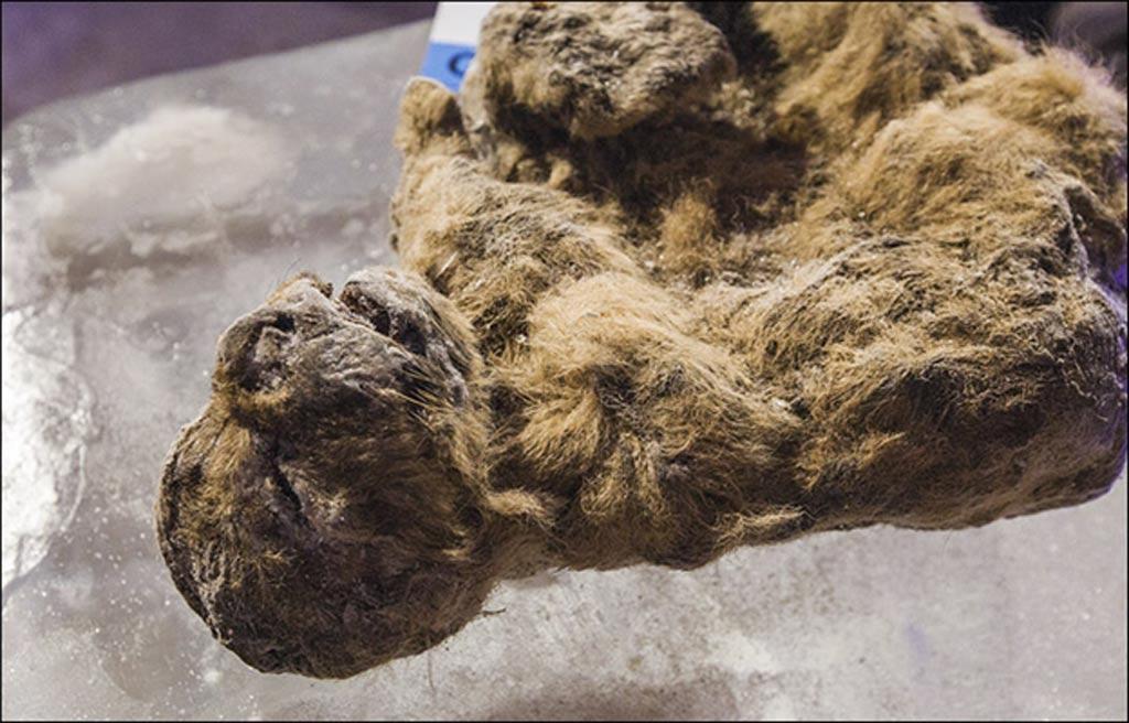 Los científicos yakutos han decidido mantener a uno de los cachorros apartado de toda investigación: el mejor conservado de los dos, bautizado como Uyan. Fotografías: Vera Salnitskaya