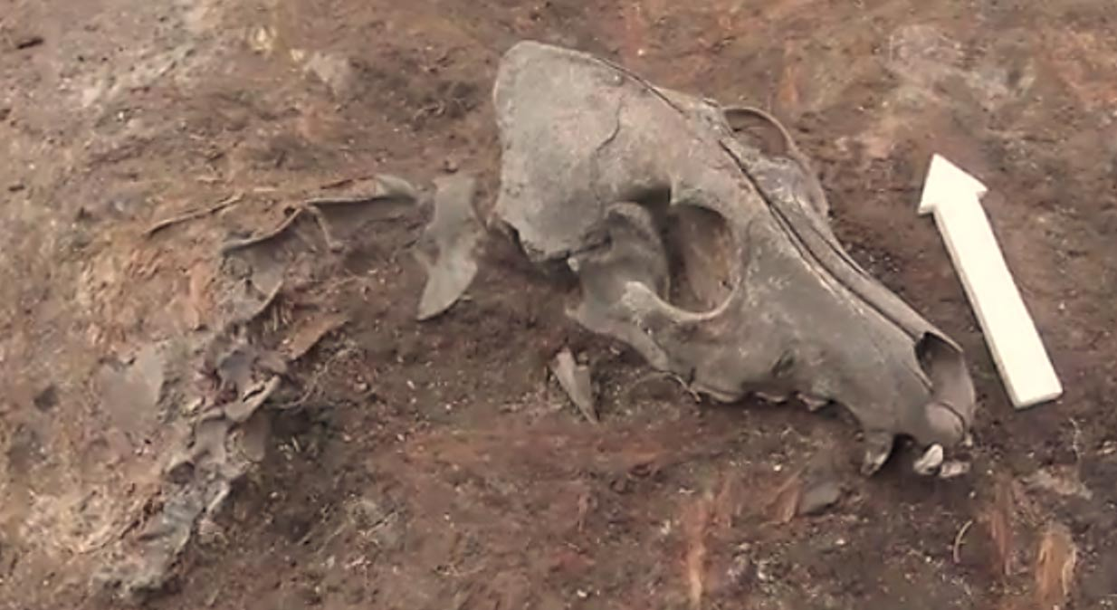Antiguo enterramiento de un perro. (Robert Losey/Universidad de Alberta) El Dr. Losey ha analizado los huesos caninos hallados en diversas tumbas prehistóricas para averiguar de qué se alimentaban estos perros.