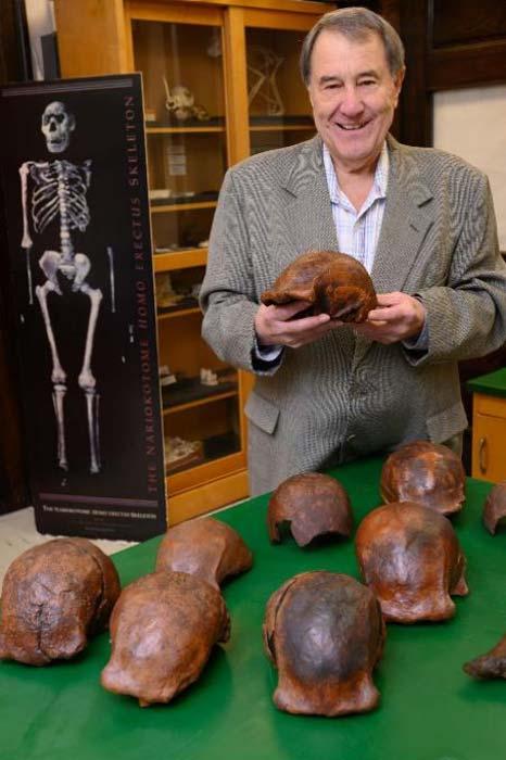 Paleoantropólogo Russell L. Ciochon de la Universidad de Iowa en Iowa City con una colección de réplicas fósiles de Homo erectus de Ngandong. (Tim Schoon / Universidad de Iowa)