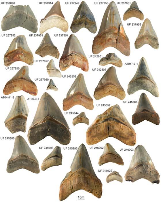 Colección Carcharocles megalodon de la Formación Gatún. Especímenes y sus respectivos números de colección. Una muestra (CTPA 6671) no estaba disponible para fotografiar. (Catalina Pimiento, Dana J. Ehret, Bruce J. MacFadden, Gordon Hubbell / CC BY 2.5)
