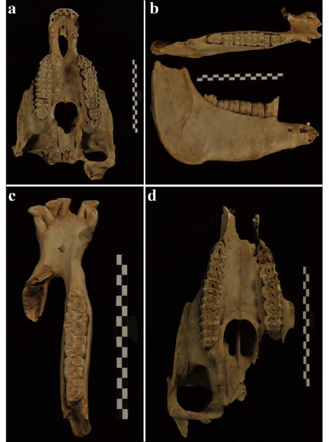 Cráneo y mandíbulas de burro encontradas en la tumba. (S. Hu / Antiquity Publications Ltd)