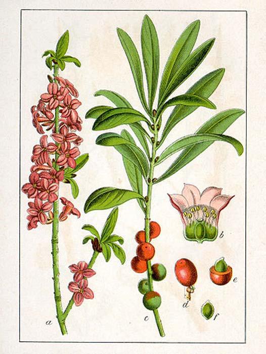 Daphne mezereum L. (dominio público)