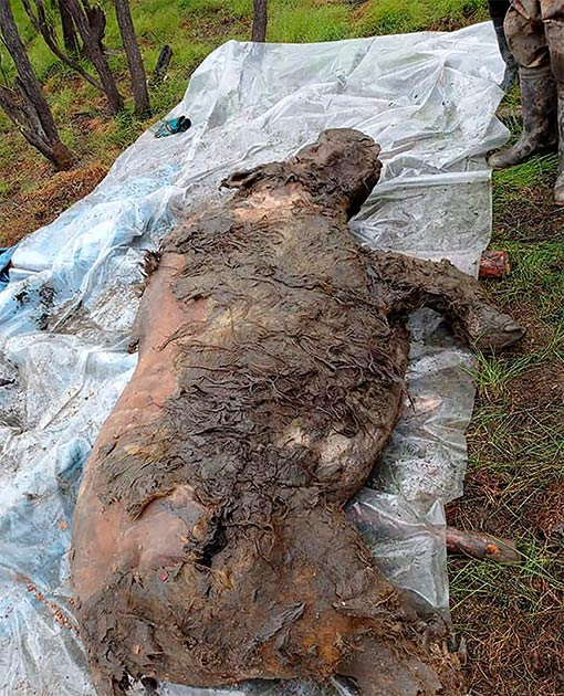 Descubierto en agosto de 2020 en Siberia, los investigadores explicaron que los tejidos blandos del rinoceronte lanudo aún estaban intactos. (The Siberian Times)