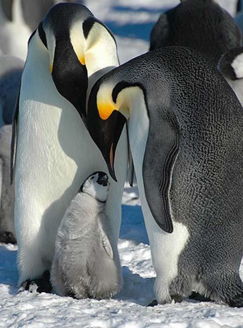 Los primeros pingüinos eran enormes, incluso más grandes que los pingüinos emperador. (Dominio publico)