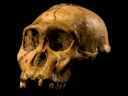 Cráneo-australopitecus-sediba.jpg