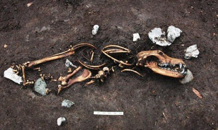 Portada-Uno de los ochos esqueletos de perros que se encontraron junto a tres estacas a las que probablemente estuviesen atados. Foto: Jacob Due/Museo Moesgaard