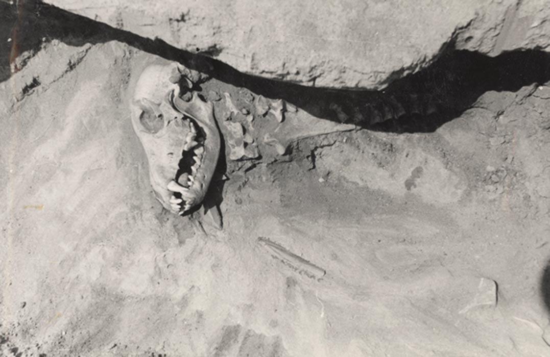 Portada - Tumba de un perro hallada en Siberia. Junto al cráneo hay utensilios de piedra y hueso, y en el interior de la boca del animal se introdujo un guijarro redondeado. Fotografía: Losey et al. (2013)